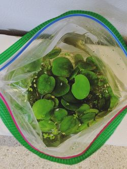 FREE Frogbit Freshwater Aquarium Plants for Sale in Portland,  OR