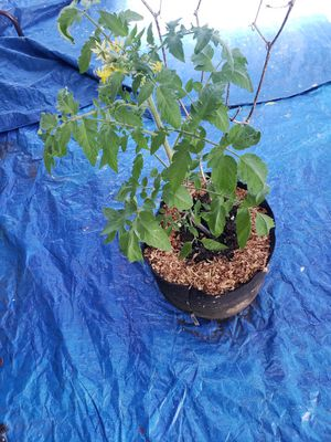 Heirloom Tomatoe Plant for Sale in Portland, OR