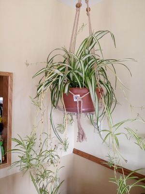 Gorgeous Spider Plant for Sale in Parma, OH