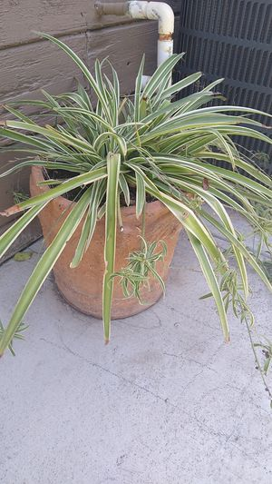 Healthy plant for Sale in Manteca, CA