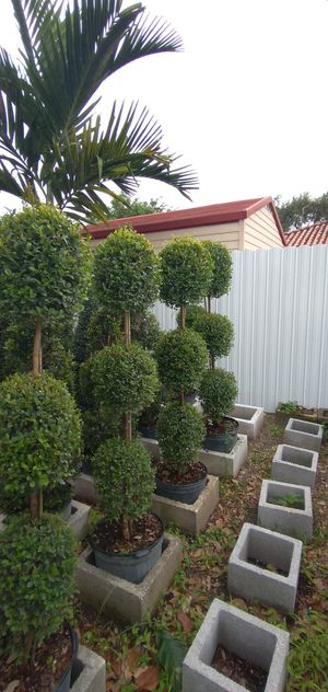 TOPIARY 3 BALL ( 4.5 Ft. 7 Galon ) for Sale in Hialeah, FL