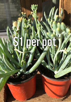 "$1 Senecio - Blue Chalk Stick Plants in 4"" pots. Each pot is $1. SCROLL PICTURES for Sale in Lake Forest, CA"