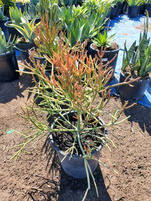 Pencil succulent for Sale in Ontario, CA
