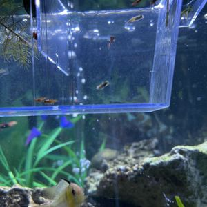 Baby Platys/guppys for Sale in Los Angeles, CA