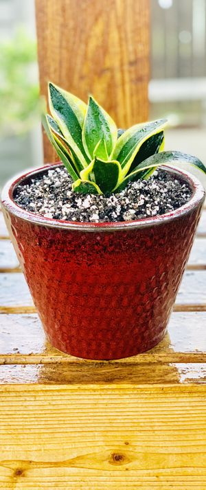 Live indoor Bird's Nest Snake house plant (Sansevieria) in a textured ceramic pot—firm price for Sale in Seattle, WA