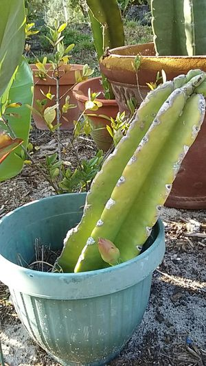 Beautiful flowering cactus with new buds in plastic pot for Sale in Orange City, FL