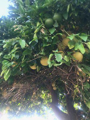 Grapefruit for Sale in Riverside, CA