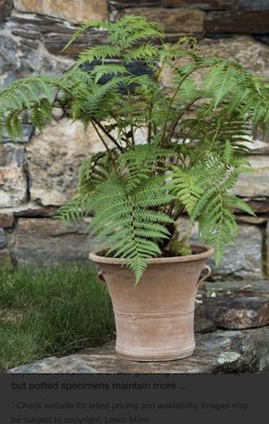 Tasmanian fern in 5'gallon plastic pot. Not ceramic pot . For shipping out for Sale in Modesto, CA