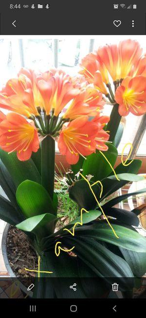 Civia lily for Sale in Stockton, CA