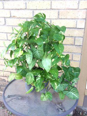 "28"" Organic Homegrown 3-in-1 Alive (1)Arrowhead Plant & (2)Golden Pothos in a Triple Concrete Planter Houseplants Air Purifier Plants for Sale in Austin, TX"