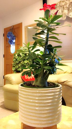 Big Trunk and Tall Dark Red Desert Rose. PLANT ONLY. PLANTER NOT INCLUDED- Outdoor Plant for Sale in Garden Grove, CA