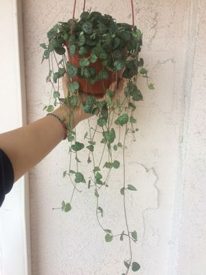 String of hearts plant for Sale in Costa Mesa, CA