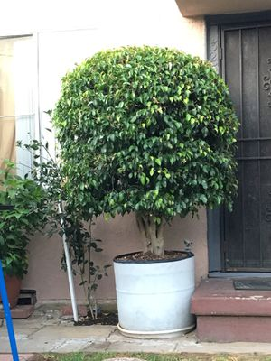 Selling tree. for Sale in Los Angeles, CA