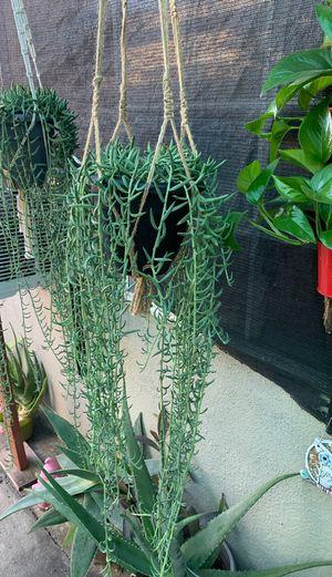 Suculentos grande con colgadera for Sale in Bell, CA