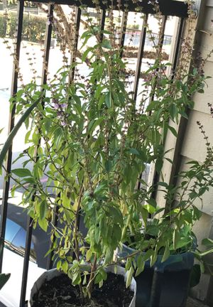 Tulsi holy basil herbal plant for Sale in Plano, TX