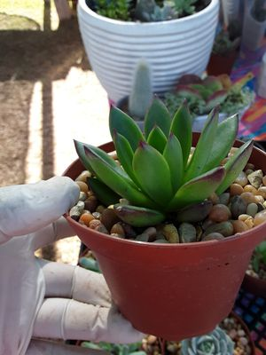 """4"""" pots with succulent plants ready for party favors only $2 each for Sale in La Mirada, CA"""