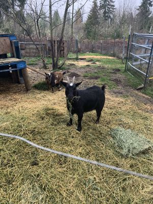 Female miniature Netherlands dwarf and baby for Sale in Roy, WA