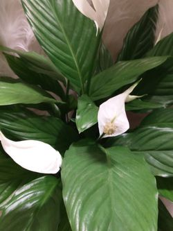 #1 AIR PURIFIER Peace Lily Indoor Plant~ Flowering 6 Inch Plastic Pot for Sale in Kent,  WA