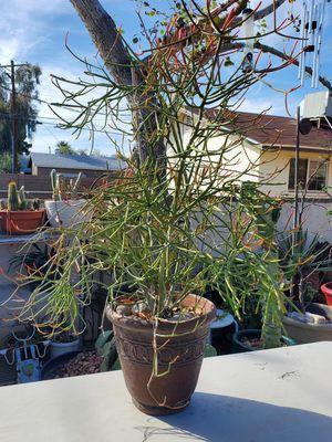 Beautiful Healthy Pencil Cactus Plant for Sale in Phoenix, AZ