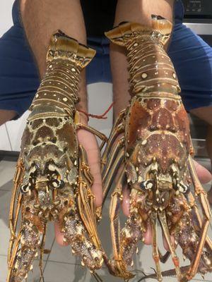 Fresh lobster for Sale in Miami, FL