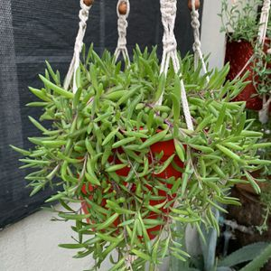 Succulent Grande Con Colgadera for Sale in Downey, CA