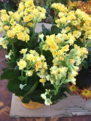 Colanchoe plant for Sale in Sacramento, CA