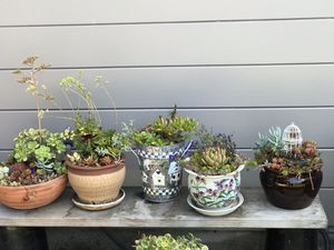 Potted succulents $20 each for Sale in El Cerrito, CA