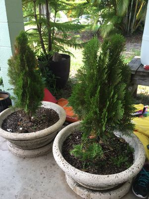 Large potted Japanese Cypress for Sale in Venice, FL