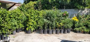 Backyard nursery, all organic plants. Different types and prices for Sale in El Monte, CA