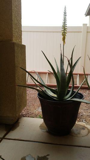 Aloe vera plant With flower (Savila con foor) for Sale in North Las Vegas, NV