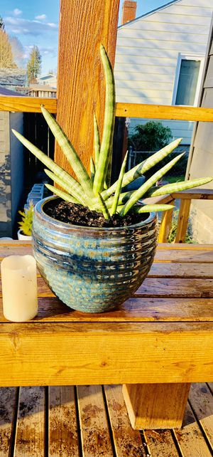 Live indoor Sansevieria Boncel (Starfish) Snake plant in a textured ceramic pot—firm price for Sale in Seattle, WA