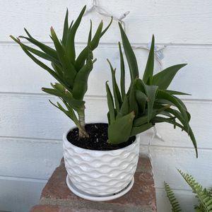Cornstalk Dracaena Plant In Porcelain Planter for Sale in Newport Beach, CA