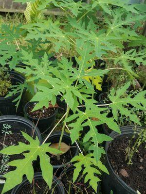 Plantitas de papaya ya están grandes a $7 cada una for Sale in Houston, TX