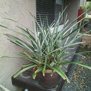 Big Pineapple Plant for Sale in Costa Mesa, CA