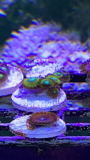 Zoas for Sale in Los Angeles, CA