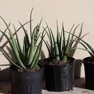 Organic Aloe Vera Home Free Smoke Not Pet for Sale in Spring Hill, FL