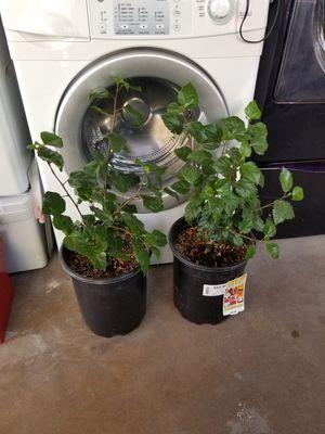 Hibiscus plant for Sale in Phoenix, AZ