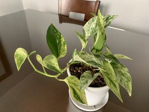 Pothos marble live plant in a terra cotta white pot for Sale in Fresno, CA