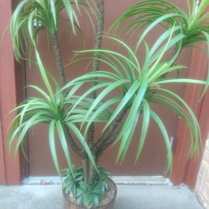 House Plant 57 Inches for Sale in Silver Spring, MD