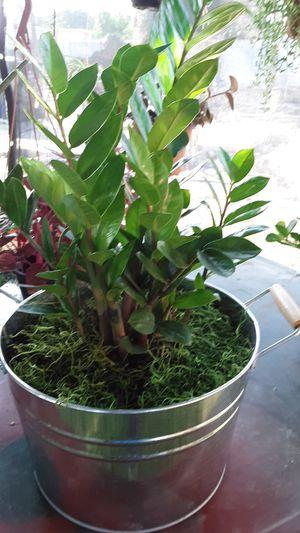 """12""""pot with money indoor plant for Sale in La Mirada, CA"""