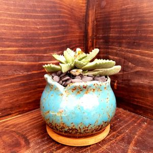 Tiger's Jaw Succulent plant for Sale in Gilroy, CA