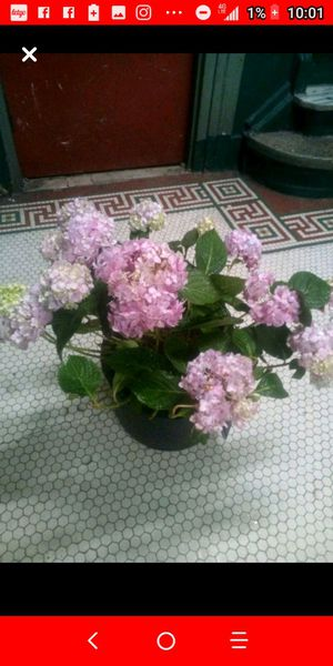 Hydrangea plant for Sale in The Bronx, NY