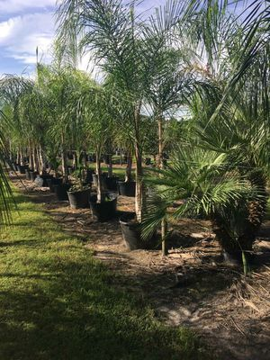 Palm trees delivered and planted. 15 foot tall for Sale in Tampa, FL