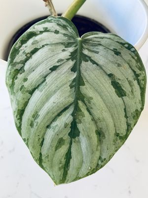 Philodendron Brandtianum Plant for Sale in San Diego, CA