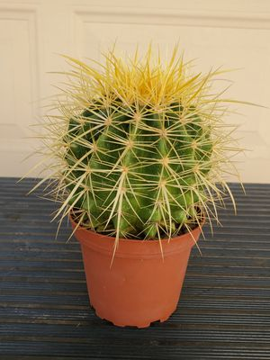 Beautiful Healthy Cactus for Sale in Glendale, AZ