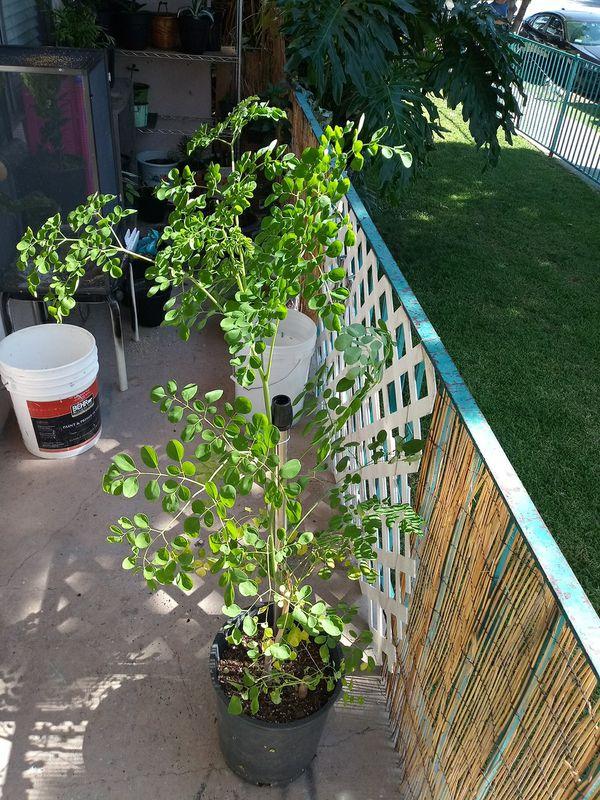 Planta de Moringa