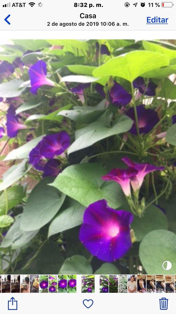 Glory night plants 🌱