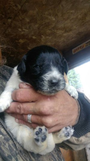 New foundland /great Pyrenees puppys for Sale in New Sweden, ME