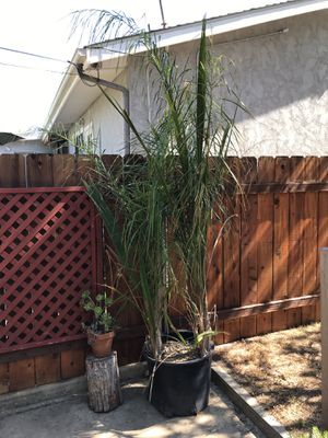Six queen palm trees in 25 inch pot. At least two are over 5'. All wanting to be planted. for Sale in El Cajon, CA