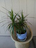 Live plant for Sale in Chandler, AZ